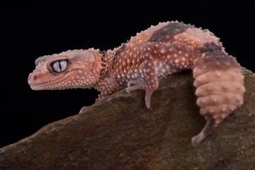 Wall Mural - Southern banded knob-tailed gecko (Nephrururs wheeleri wheeleri)