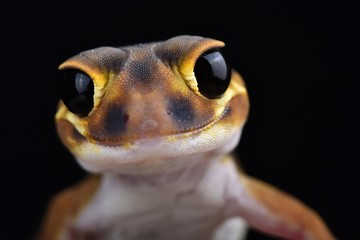 Smooth knob-tailed gecko (Nephrurus laevissimus) Wall mural