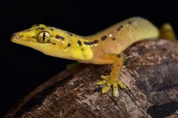 Wall Mural - Polillo false gecko (Pseudogekko smaragdinus)