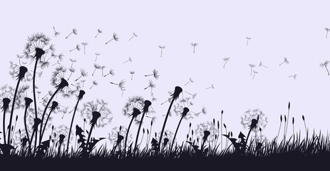 The dandelion Flowers with flying seeds.  Wall mural