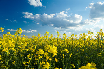 Beautiful rapeseed flowers with dark blue sky with clouds