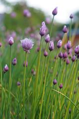 purple blossom of chives (allium)