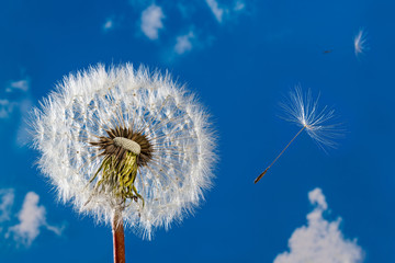 White blowball. Sunny sky. Common dandelion. Taraxacum officinale. Bright clock and fragile flying seeds. Blue heaven with fluffy clouds. Overblown flower head. Wild herb in beautiful spring sunlight.