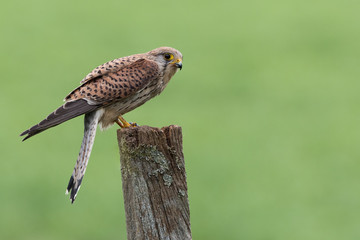 Wall Mural - Female Kestrel side view perched on a post with a green background.