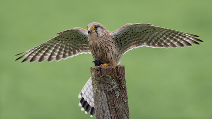 Wall Mural - Female Kestrel Mantling prey on post with green background.