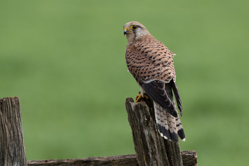 Wall Mural - Female Kestrel showing back with head turned perched on a post with a green background.