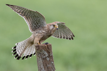Wall Mural - Female Kestrel perched on post with wings outspread.  Green background.