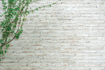 Printed roller blinds Brick wall The wall is made of brick and then painted in white. There are creepers on the left wall. This wall is popular in English style. Also known as a vintage style. as background with copy space.