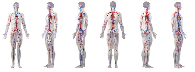 3d rendered medically accurate illustration of mans vascular system