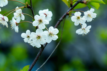 There is a beautiful snow white flowering cherry branch on a blurred dark background. Photograph of cherry blossom. Shooting with wide open aperture outdoors.