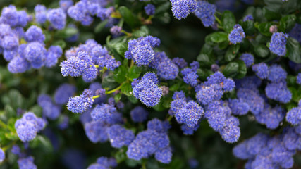 Foto op Canvas Lilac Beautiful blooming purple Californian lilac flowers, Ceanothus thyrsiflorus repens in spring garden.