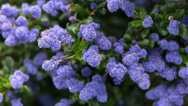Beautiful blooming purple Californian lilac flowers, Ceanothus thyrsiflorus repens in spring garden.