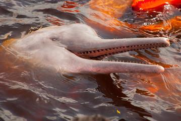 Boto Amazon River Dolphin. Amazon river, Amazonas, Brazil