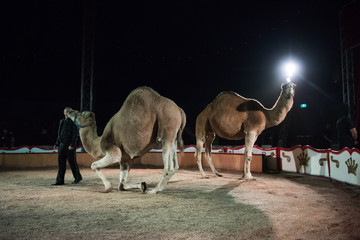 Performing camels at the circus
