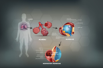Human lungs, Alveoli anatomy