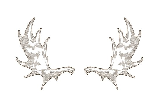 Elegant drawing of elk or moose antlers isolated on white background. Hand drawn decorative design element. Monochrome realistic vector illustration in vintage engraving style for logotype.