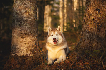 Cute and happy Siberian Husky dog lying in the forest at sunset in spring