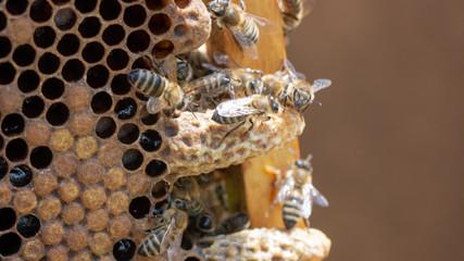 Queen's Nest in a beehive. Mother liquor