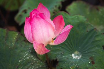 Wall Mural - Open pink waterlily bud. Lotus flower