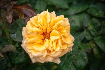 Wall Mural - Yellow rose flower over dark garden