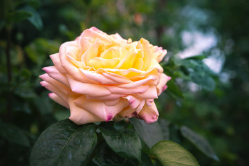 Wall Mural - Yellow pink rose flower in park