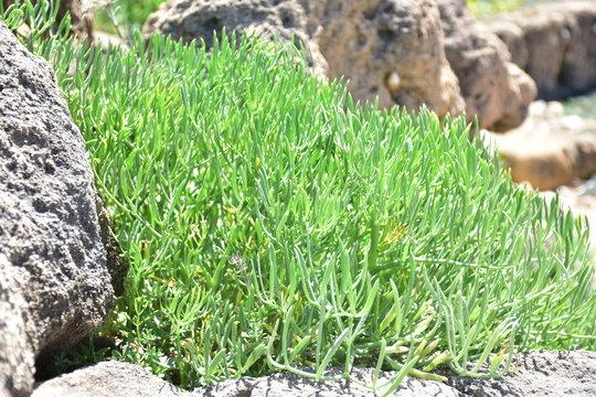crithmum maritimum detto anche finocchio di mare. Pianta alofila del mediterraneco che vive in terreni ad elevata salinità. Cresce sulle coste del mare e  e   nelle saline. Commestibile