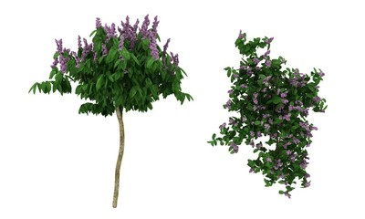 Small Tree with purpel flowers
