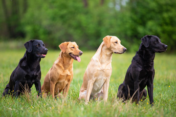 Four Labradors Retriver on a spring meadow. Small depth of field