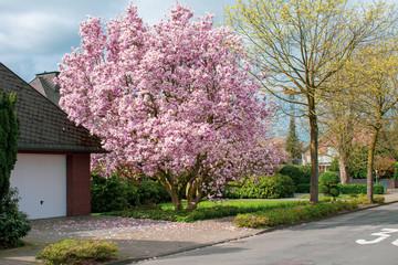 Schöner, blühender Kirschbaum . Standort: Deutschland, Nordrhein - Westfalen, Borken
