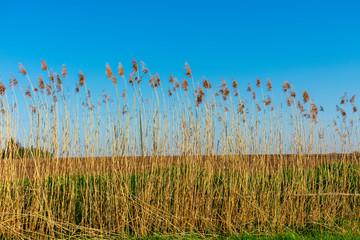 Schilfrohr (Phragmites australis) bei blauem Himmel. . Standort: Deutschland, Nordrhein - Westfalen, Hoxfeld