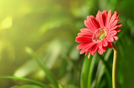 Gerbera with blur shiny background. Nature background