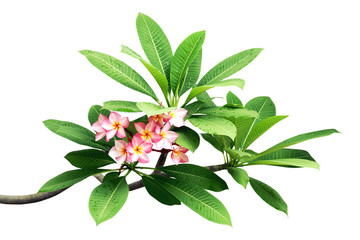 Plumeria Tree Branches with Green Leaves and Pink Flowers Isolated on White Background