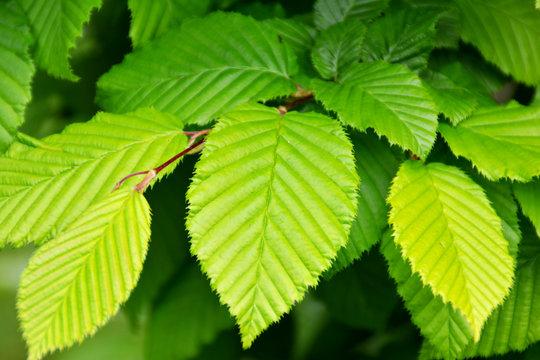 Hainbuchenhecke Blätter Carpinus betulus