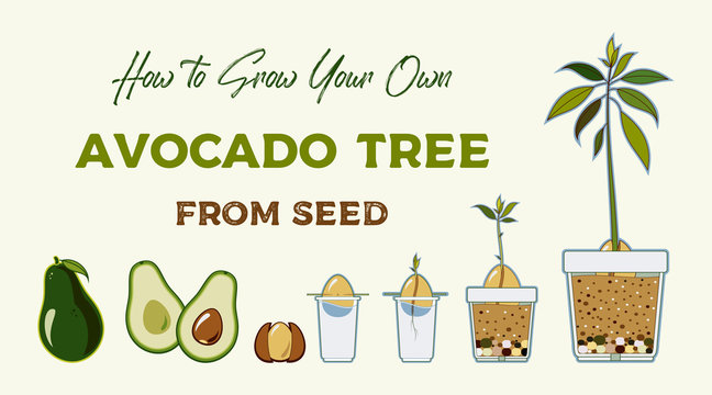 Avocado tree vector growing guide poster. Green simple instruction to grow avocado tree from seed. Avocado life cycle.