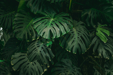 Monstera palm leaves background. The concept of tropics nature.