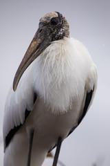 Macro of a Woodstork during mating season in florida