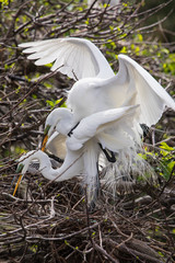 Great Egret matting at Wakodahatchee wetlands, florida