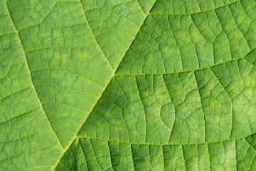grüner Blatt Hintergrund gerippt mit Blattadern