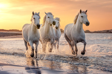 Spoed Foto op Canvas Paarden White horses in Camargue, France.
