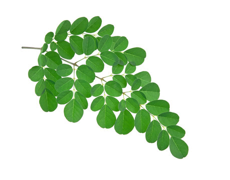 Moringa leaves on white background.