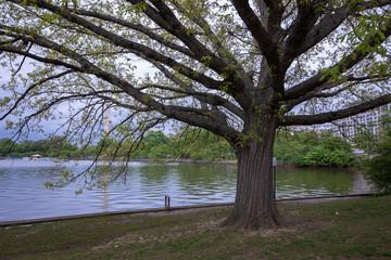 Tree by the Potomac at Washington DC, Spring