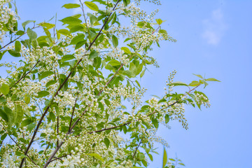 Close-up of Bird cherry tree Branches with White Flowers in Blossom on Blue Sky