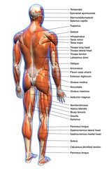 Labeled Anatomy Chart of Male Muscles Posterior View
