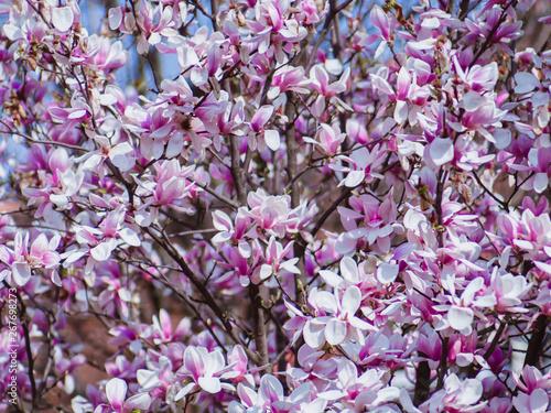 Beautiful Japanese Magnolia Tree In Full Bloom Pretty Pink Flowers