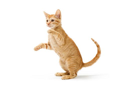 Frisky Orange Kitten Standing Side Playing