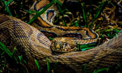 Snake cobra Wall mural