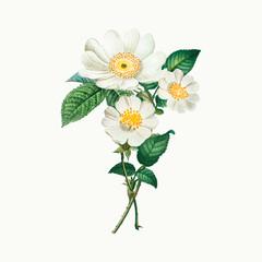 Macartney roses