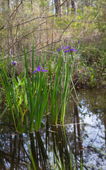 Purple iris flowers growing wild in Louisiana bayou swamp water