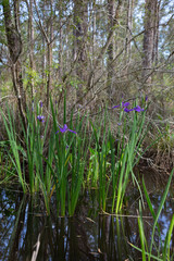 Louisiana iris wildflowers growing in grassy marsh wetlands
