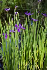 Closeup portrait of purple Louisiana iris flowers growing in dark bayou swamp water background